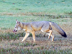 a healthy San Joaquin kit fox walks on a grassy field