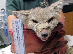a San Joaquin kit fox, its face ravaged by mange