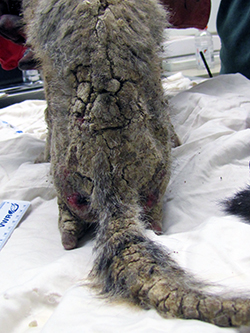 the mange-ravaged back and tail of a kit fox, with bloodied thighs