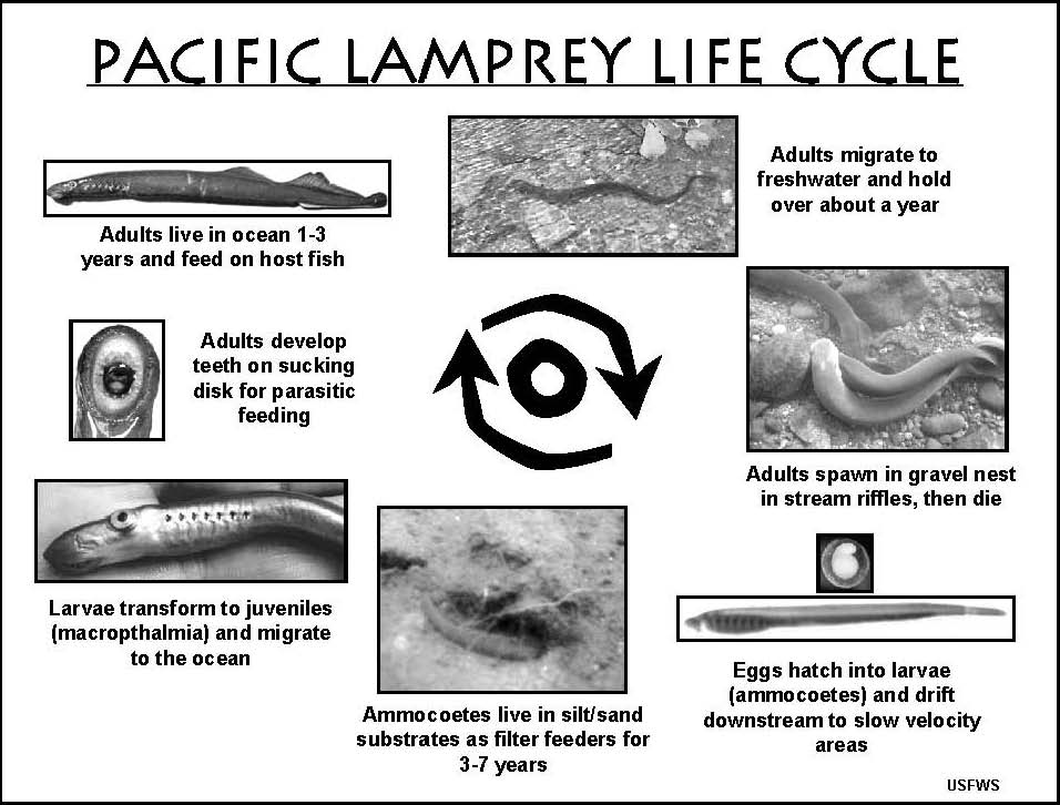 Pacific Lamprey Life Cycle Diagram