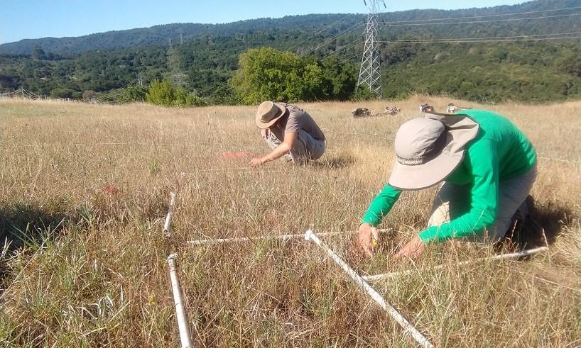 Creekside Science staff monitoring San Mateo thorn-mint