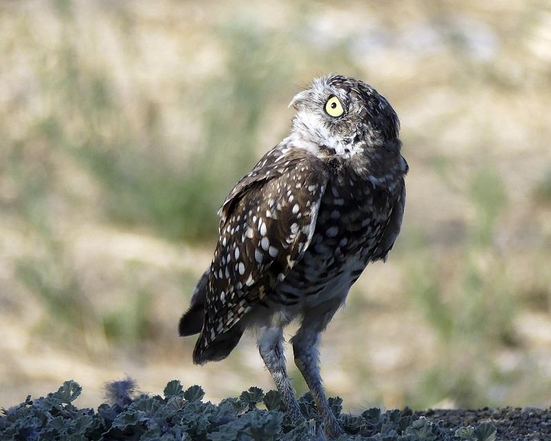Burrowing owl looking backwards towards the sky