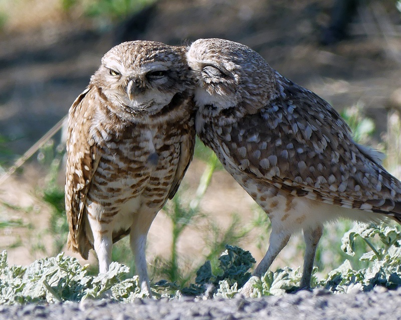 Two burrowing owls, one grooming the other's neck
