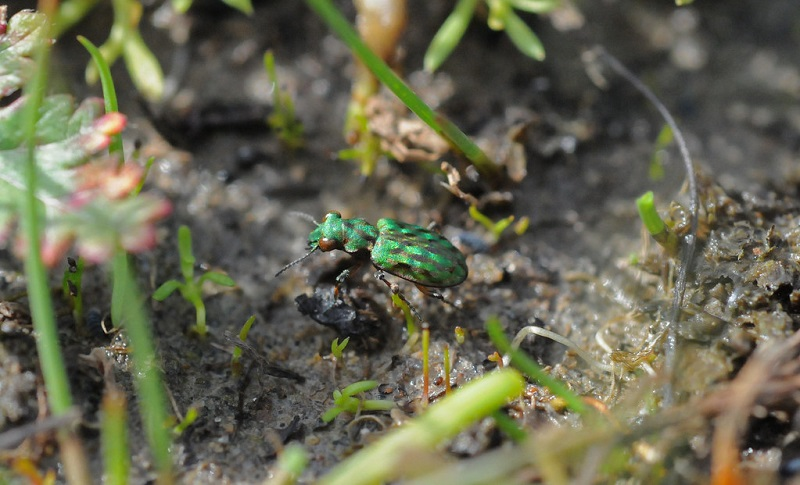 A small and shiny green beetle on wet soil.