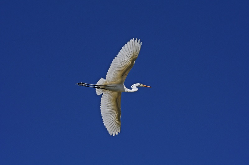 The underside of an egret soaring through the sky with its wings outstretched.
