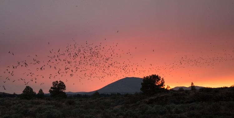 bats exiting colony to feed at dusk