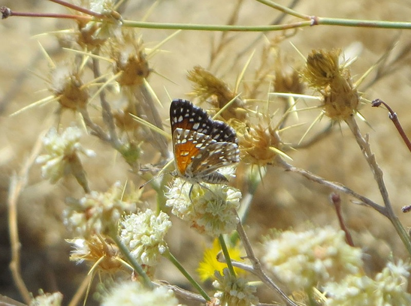 Lange's metalmark perched on a small flower cluster