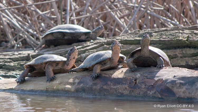 Western pond turtles sun themselves on a winter's afternoon