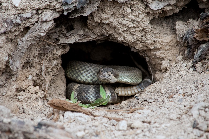 A rattlesnake coiled up in a hole