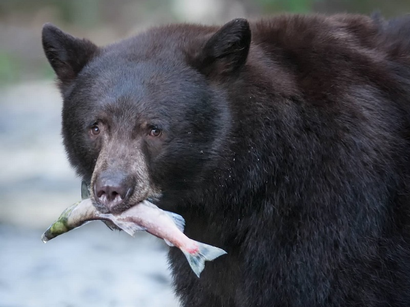 An American black bear with a fish in its mouth.