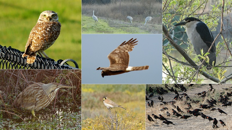 Collage of burrowing owl, sandhill cranes, black-crowned night heron, red wing and tricolored blackbirds, horned lark, American bittern, and northern harrier