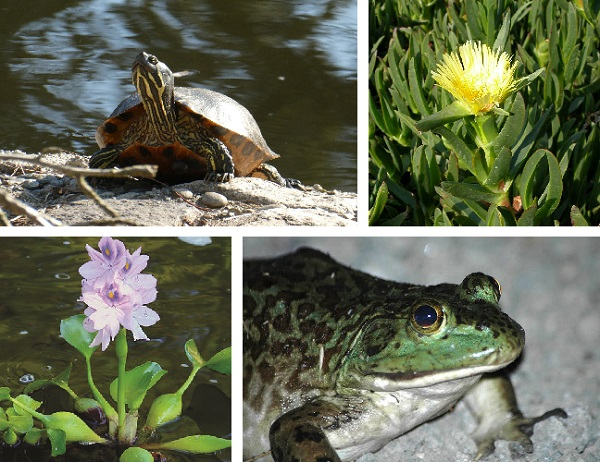 Collage of invasive species in California. Top left: red-eared slider. Top right: iceplant. Bottom left: water hyacinth. Bottom right: bullfrog.
