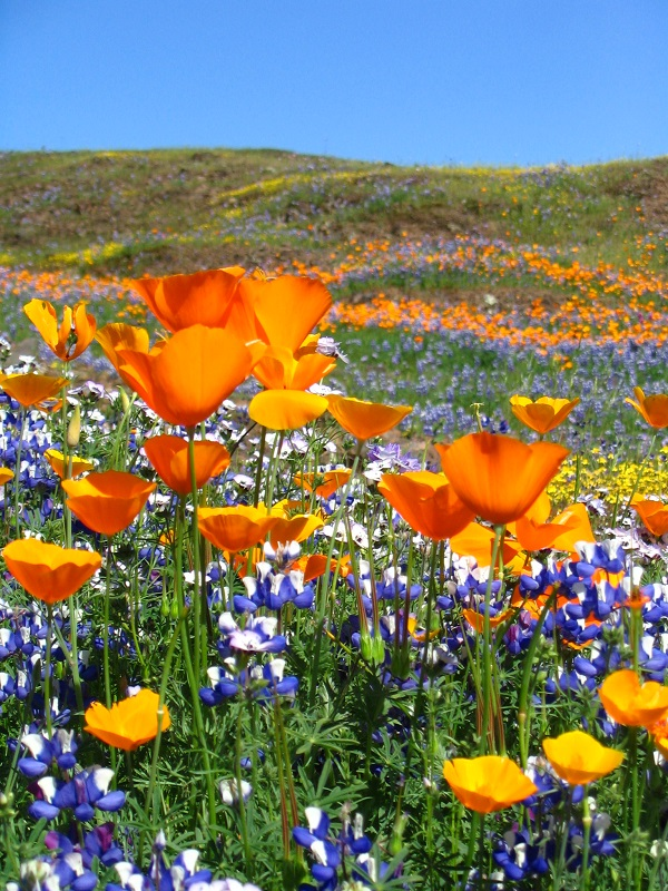 A field of California poppies and lupines at North Table Mountain Ecological Reserve.