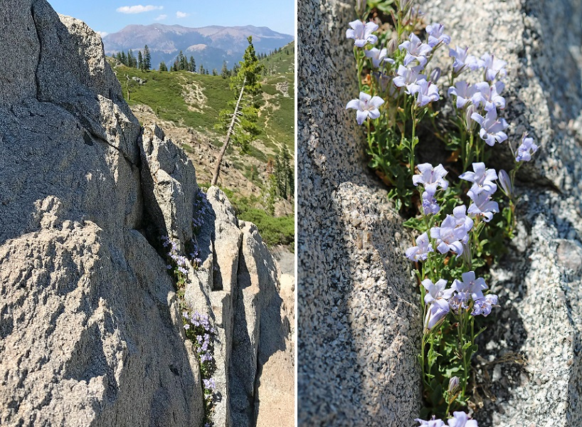 General view and closeup of Castle Crags harebell growing in granitic cliffs