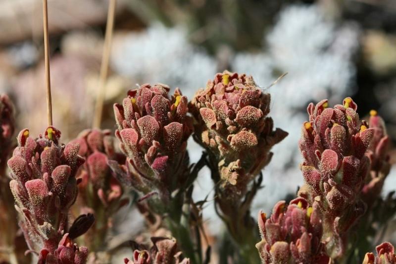 closeup of Castilleja cinerea (ash-gray paintbrush): a Federally Threatened plant species that inhabits pebble plain habitats