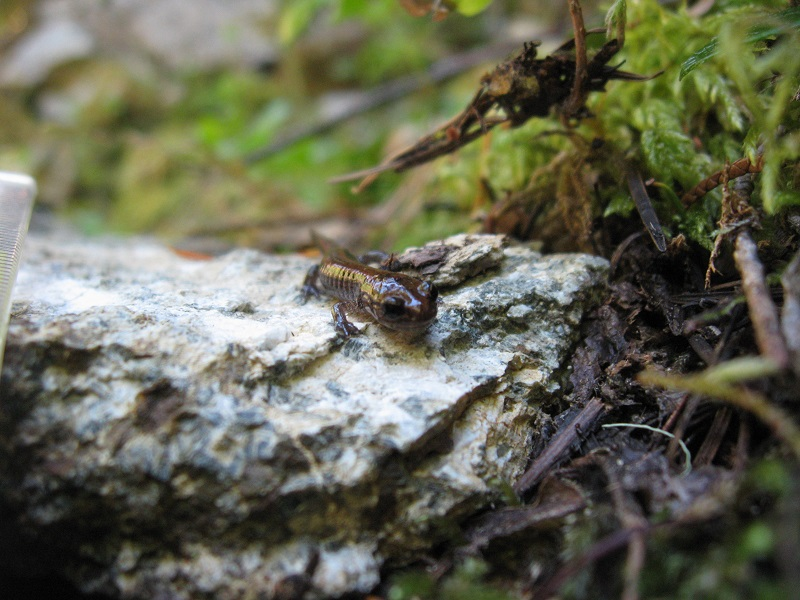 Frontal closeup of Del Norte salamander