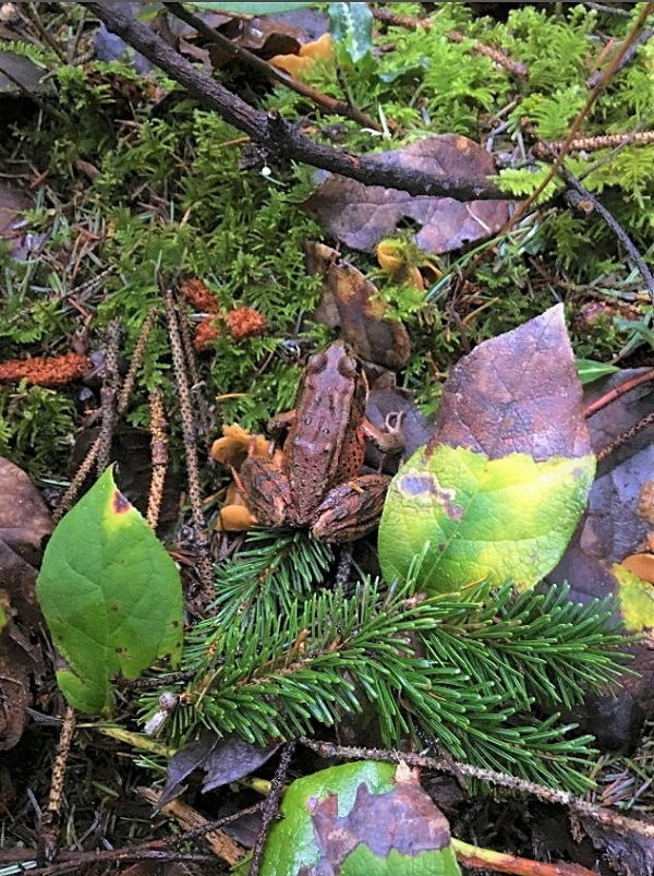 Top-down photo of northern red-legged frog on the forest floor that's covered in fallen leaves and pine needles