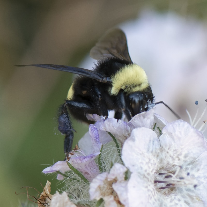 A closeup of a fuzzy bumblebee harvesting from small white and purple flowers