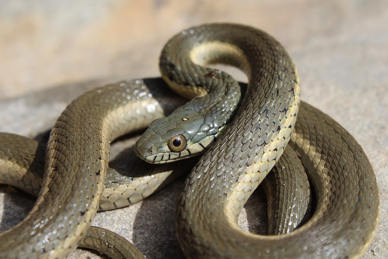 Close up of a coiled up two-striped gartersnake
