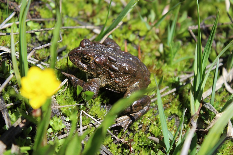 Yosemite toad resting in a grassy meadow.