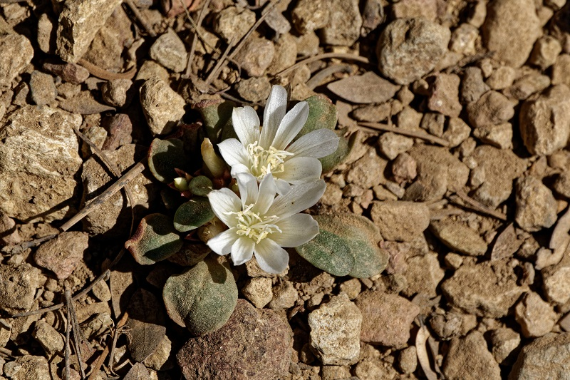 Two tiny white flowers with leaves growing on the sandy ground