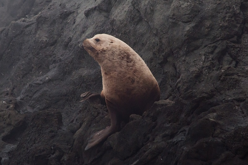 A stellar sea lion looking off to the distance while resting on a large rock