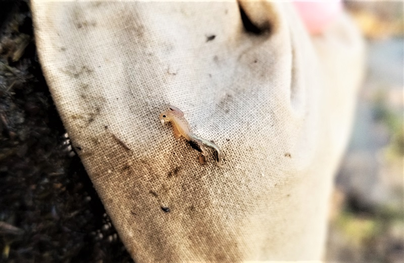 A tiny vernal pool fairy shrimp on a burlap sack