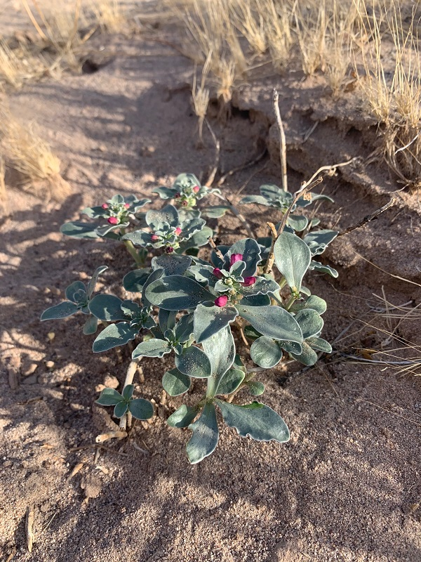 A healthy plant with dark green leaves and pink flowers on a desert dune
