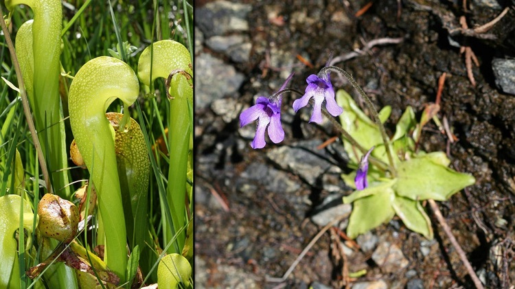 Darlingtonia californica in a field and Pinguicula macroceras in soil