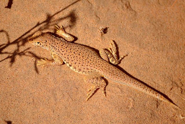 Top-down view of a fringe-toed lizard on sandy desert floor