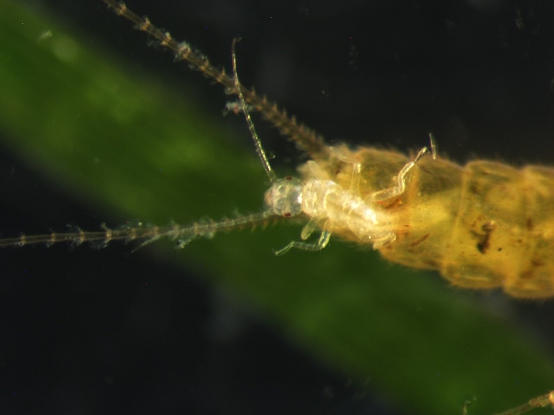 Close up view of stonefly live birth; small stonefly exiting a larger stonefly - © Annie Caires, all rights reserved
