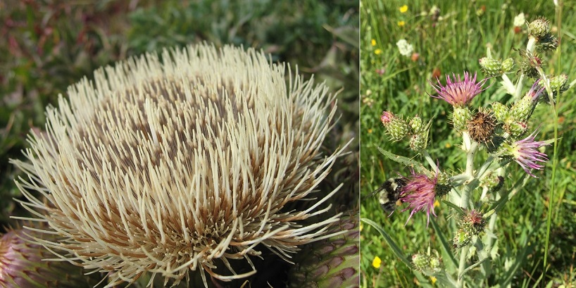 Brown thistle in bloom on the left, and native bumblebee pollinating a Brewer's swamp thistle on the right