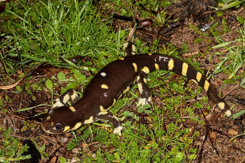 A California tiger salamander on wet grass.
