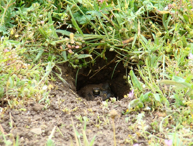 A small western toad peeking out the entrance of a burrow