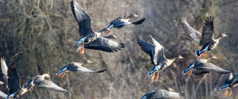 waterfowl flying over reeds