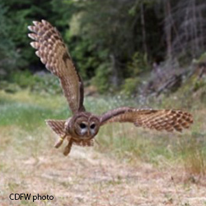 small brown owl flying