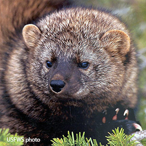 brown furry head of a Pacific fisher