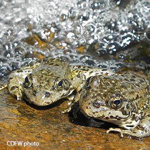two greenish frogs with spots