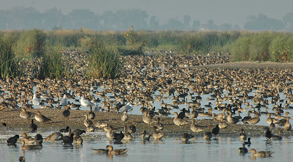 waterfowl and tule sedge in shallow flooded fields