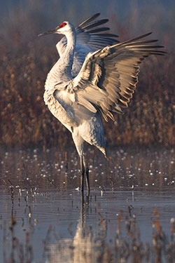 sandhill crane with wings extended
