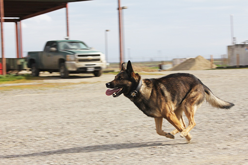 K9 in action (running)
