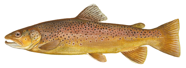 brown trout - a bak and sides are marked with olive brown to black spots.