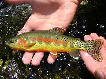California golden trout