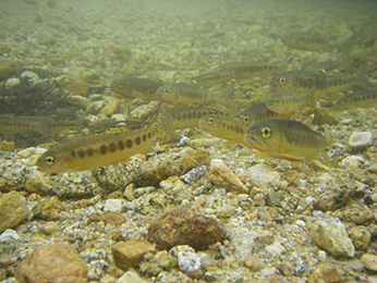 Underwater photo of a group of California golden trout