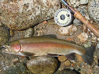 Kern River rainbow trout captured by Jeff Weaver near Upper Funston Meadow