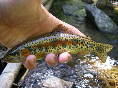 McCloud River redband trout from Moosehead Creek