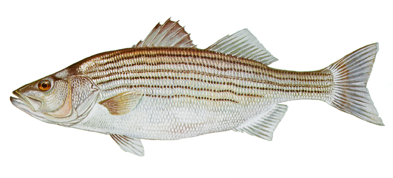 striped bass - a silver and bronze fish with stripes running from head to tail