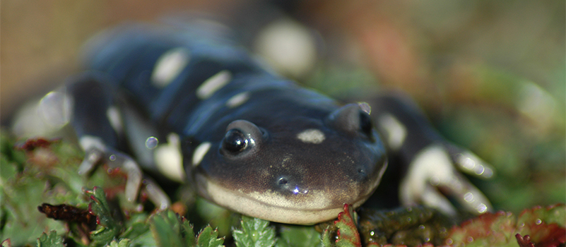 Adult-California-Tiger-Salamander