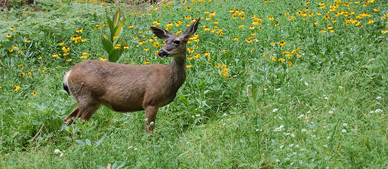 Deer-in-meadow-at-Sequoia-National-Park