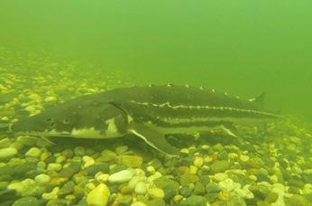Photo of adult Green Sturgeon